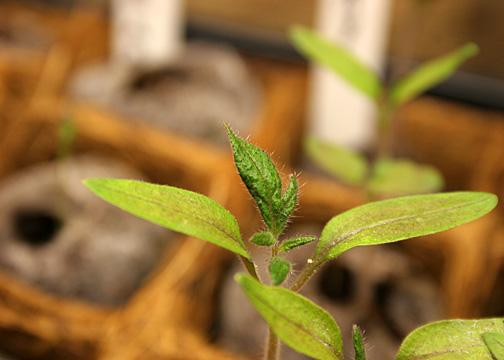 tomato-true-leaves