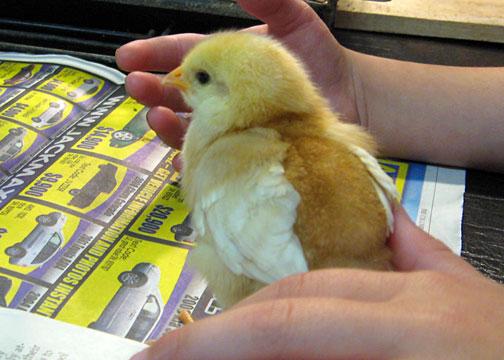 chicks3