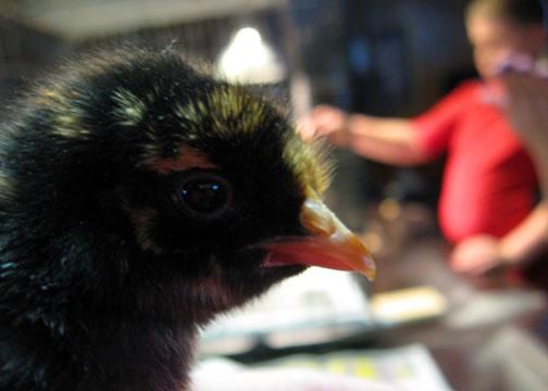chicks6